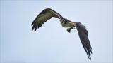 Osprey with a Perch Breakfast