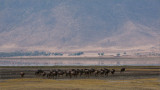 Wildebeests in the Ngorogoro Crater