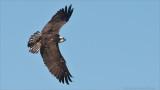 Banking Osprey in Flight
