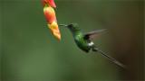Green Thorntail Feeding 2
