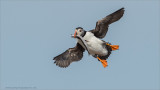 Puffin in Flight with Catch