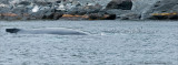 Humpback and some Capelin