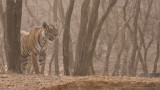 Tiger on the Hunt in India