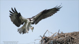 Osprey Landing with Catch