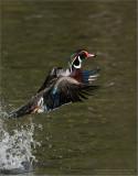 Wood duck Lift Off! Photo workshops