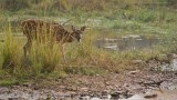 Spotted Deer - Tiger Prey in India Sending a Warning Call!