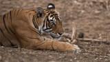Royal Bengal Tiger Portrait