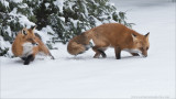 Two Foxes Hunting