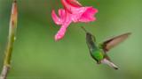 Coppery Headed Hummingbird