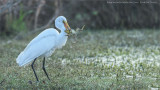 Great Egret and Great Frog - Florida