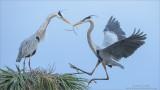 Great Blue Herons Nesting - Florida