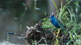 Purple Gallinule Posing