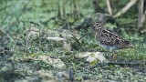Wilson snipe in Superb Environment