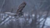 Great grey owl Lift Off