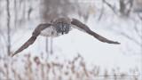 Great Grey Owl Hunting Naturally