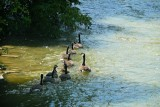 Canada Geese, Summer, Humber River, Rowntree Mills Park, Toronto, Ontario