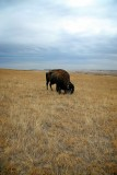 Buffalo, Badlands National Park, South Dakota