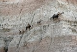 Mountain Goats, Badlands National Park, South Dakota
