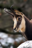 Camoscio-Chamois (Rupicapra rupicapra)