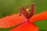 Poppy & drops