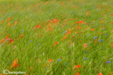 Poppies and cornflowers field