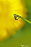 Drop on dandelion