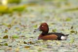Moretta tabaccata-Ferruginous Duck (Aythya nyroca)