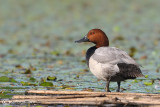 Moriglione-Common Pochard (Aythya ferina)