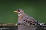 Merlo- Blackbird (Turdus merula)