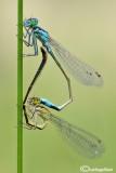 Ishnura elegans mating