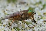 Philipomyia aprica