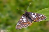 Hypodryas cynthia