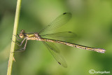 Lestes virens female