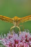 Argynnis paphia