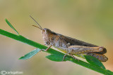 Chortippus sp.