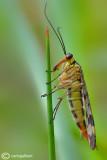 Mosca scorpione - Scorpion flies (Panorpa cognata )