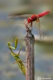 Crocothemis erythraea & Mantis religiosa