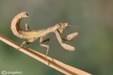 European Dwarf Mantis - Ameles spallanzania