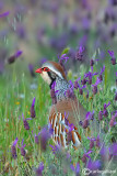 Pernice rossa-Red-legged Partridge  (Alectoris rufa)