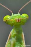 The kiss of the mantis - Mantis religiosa