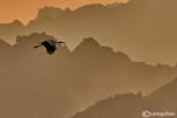 Desert stork