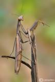 European mantis - Mantis religiosa