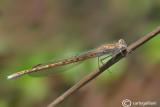 Sympecma paedisca  female
