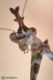 Sibylla pretiosa - Sud Africa