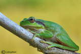 Raganella comune-Common Tree Frog (Hyla harborea)
