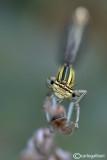 Platycnemis pennipes