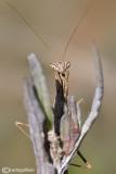 Ameles decolor