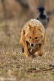 Sciacallo dorato -Golden jackal (Canis aureus) Female