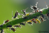 Aphids and Drops