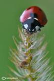 Coccinella septepunctata